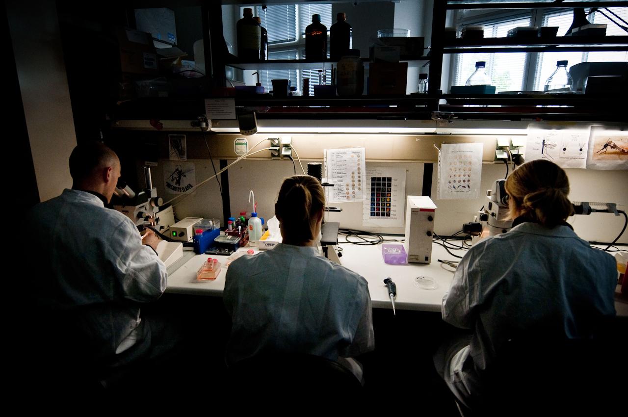Drei Forscher beim Sezieren von infizierten Mücken.