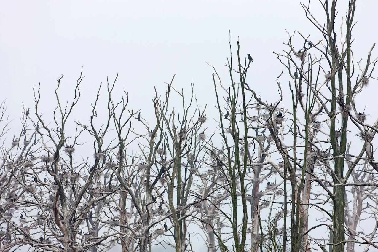 Kormoran-Kolonie (Vogel des Jahres 2010) mit Nestern auf abgestorbenen Bäumen im Anklamer Stadtbruch, Mecklenburg-Vorpommern, Deutschland