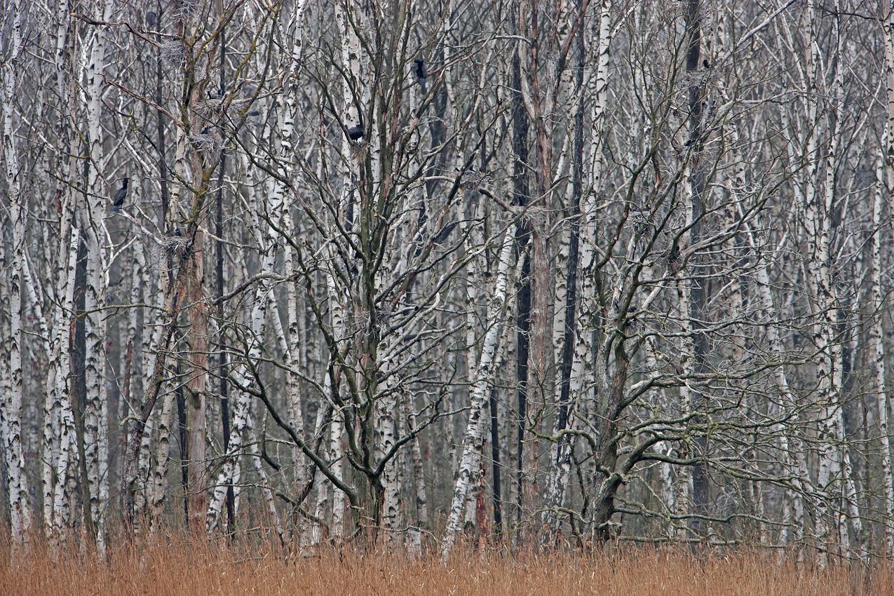 Wald mit Kormoranen, Vogel des Jahres 2010. Anklamer Stadtbruch, Mecklenburg-Vorpommern, Deutschland