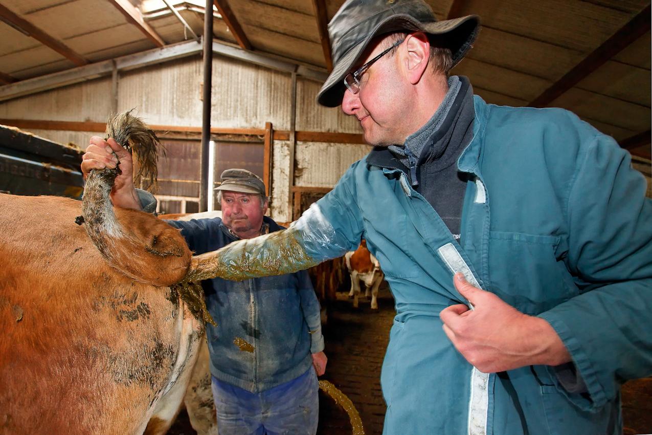 72535 Munsingen-Bremelau, Landkreis Reutlingen / Schwäbische Alb, 07.05.2010: Ein Tag Deutschland. ----  Tierarzt Thomas Conradi testet an einer Milchkuh, ob die künstliche Befruchtung erfolgreiche war. Das passiert manuell und rektal, ein Gummihandschuh schützt Tier und Mediziner. Unterstützt wird die Untersuchung durch den Landwirt, der als Schwanzhalter assistiert. So werden  hektische Bewegungen des Kuhschwanzes unterbunden.