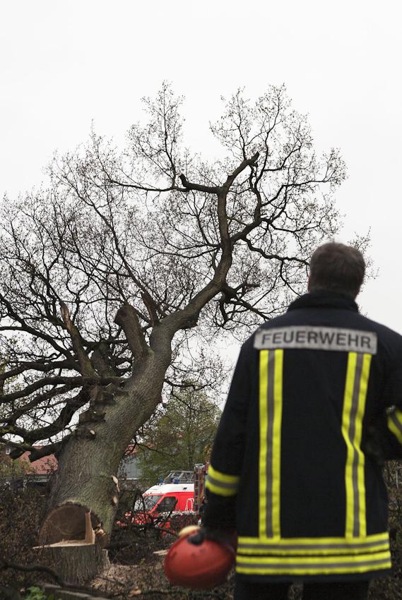 Baum faellt - Feurewehrleute der Berufsfeuerwehr Bremerhaven beim Fällen einer 130 Jahre alten Eiche.