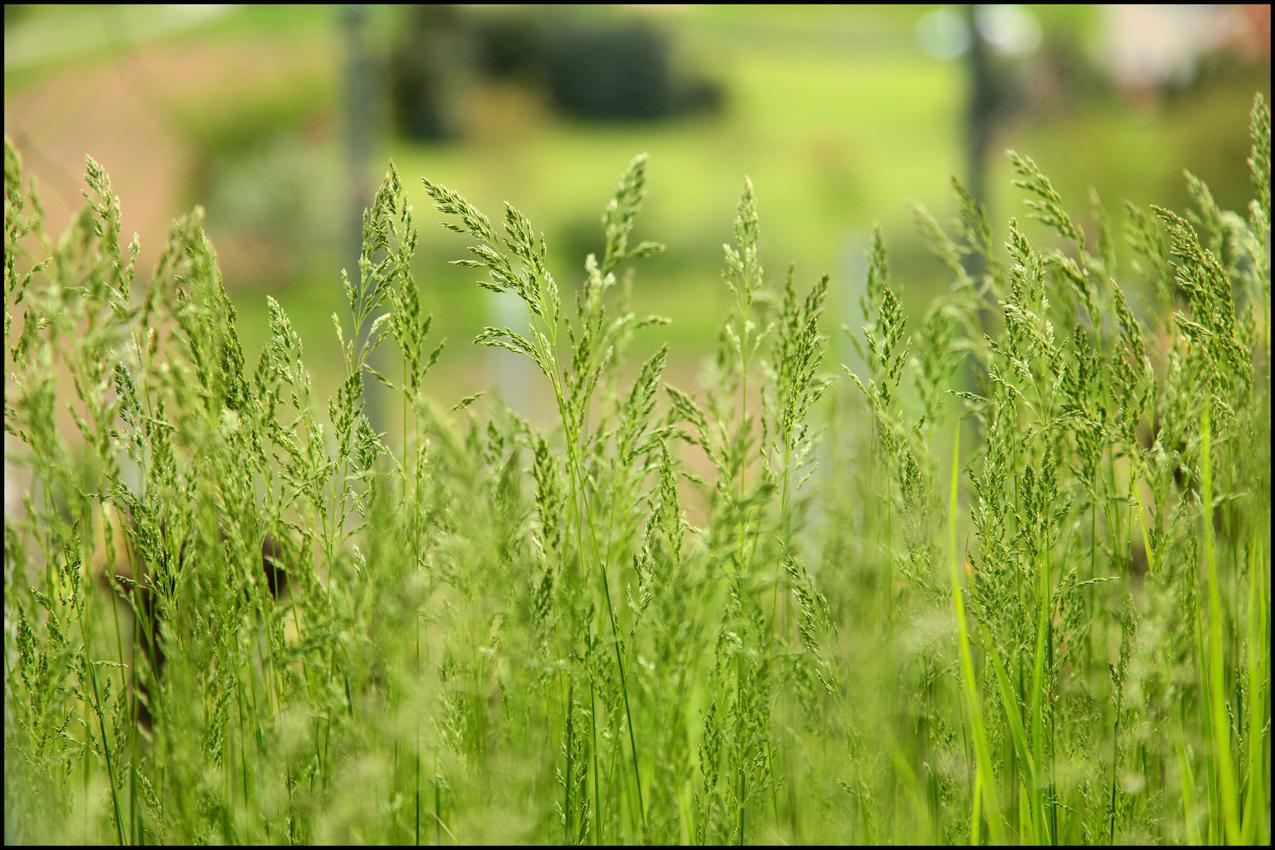 Im Weinberg nicht gern gesehen: Gras.