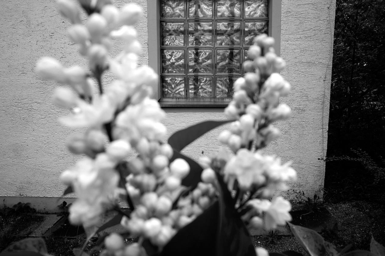 Ein blühender weißer Flieder vor dem Vereinshaus der Kleingartenanlage.