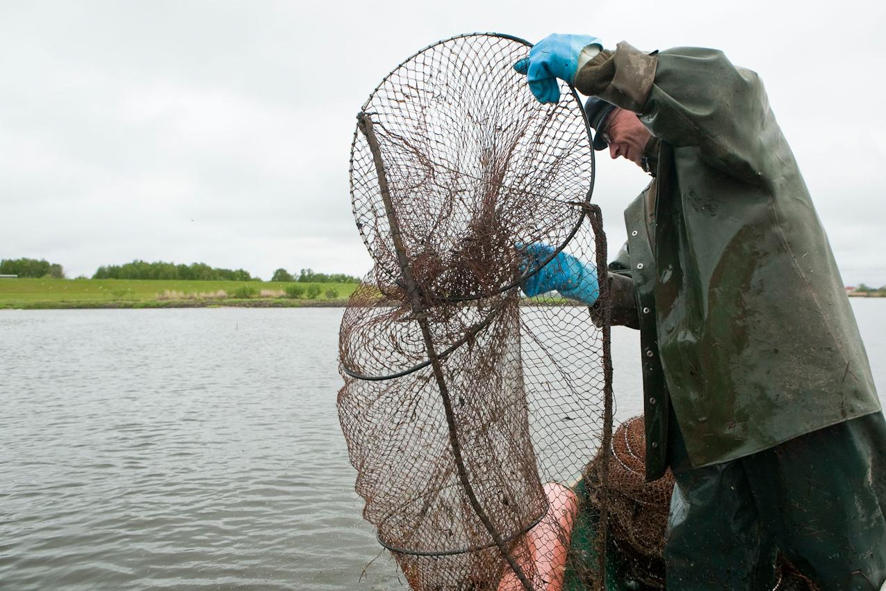 Jetzt zu Beginn der Aalsaison (Mai bis November) sind die Reusen nur schwach gefüllt, sodass sie nur alle zwei Tage geleert werden müssen.