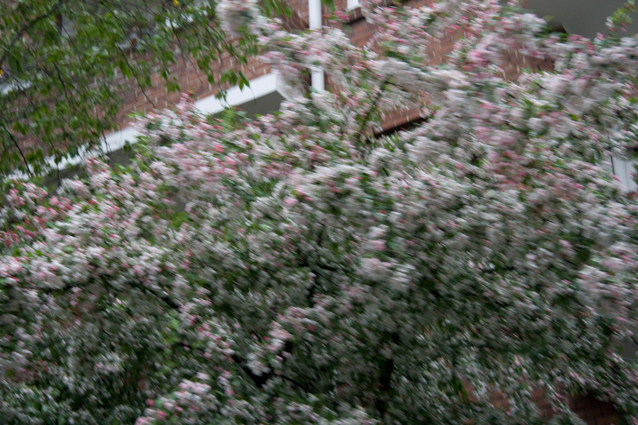 Ein in voller Blüte stehender Kirschbaum in einem Vorgarten in Hamburg Eimsbuttel (Breitenfelderstraße, 20253 Hamburg).