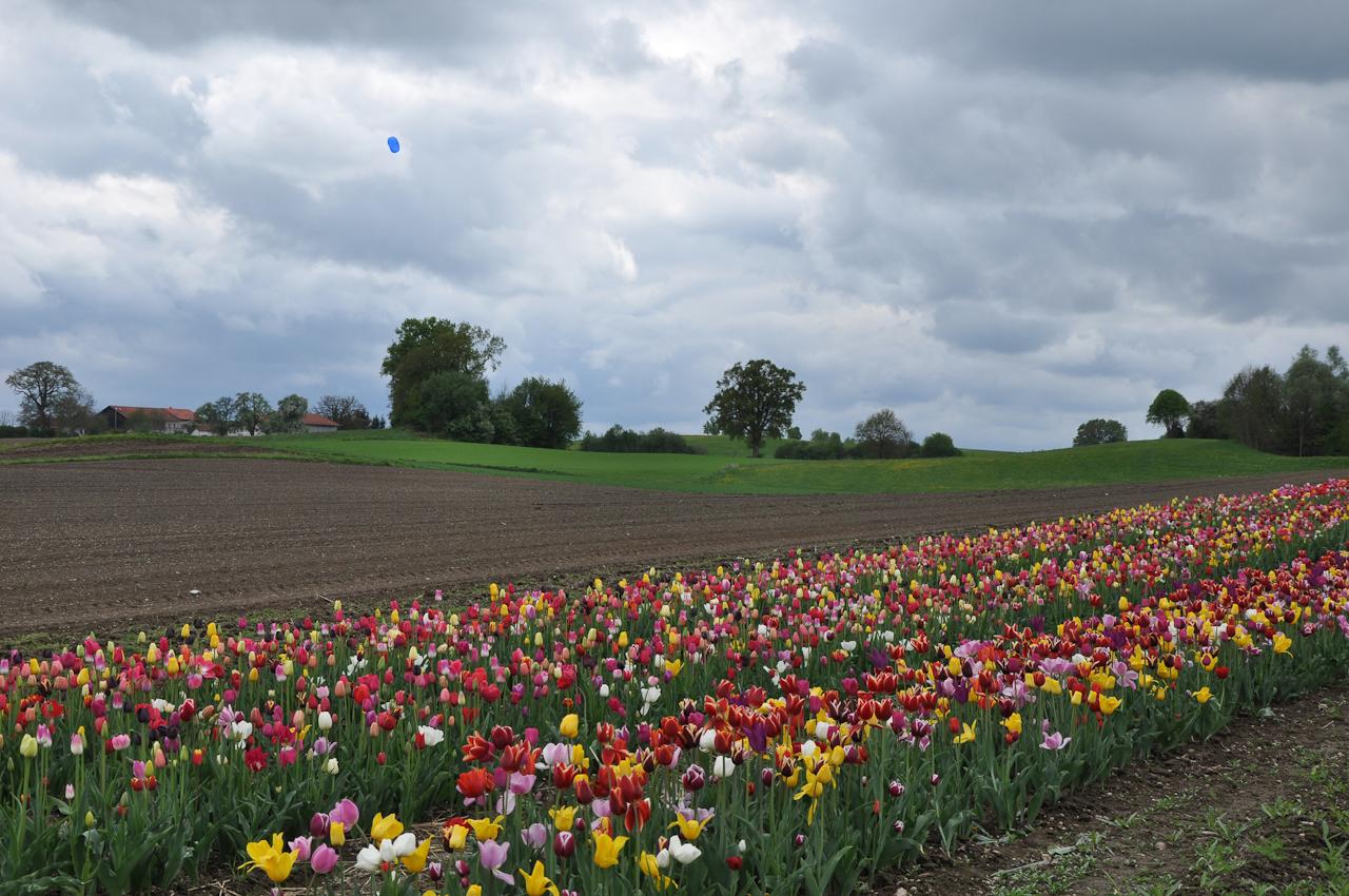 Tulpen zum selberschneiden an der B 304. Das Wetter lädt nicht viele ein.