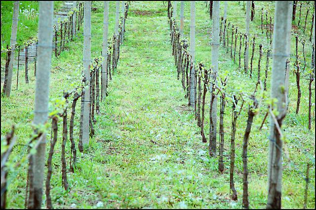 Sachsens Weinanbaugebiet 10